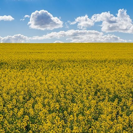 canola-fields-4107158_640